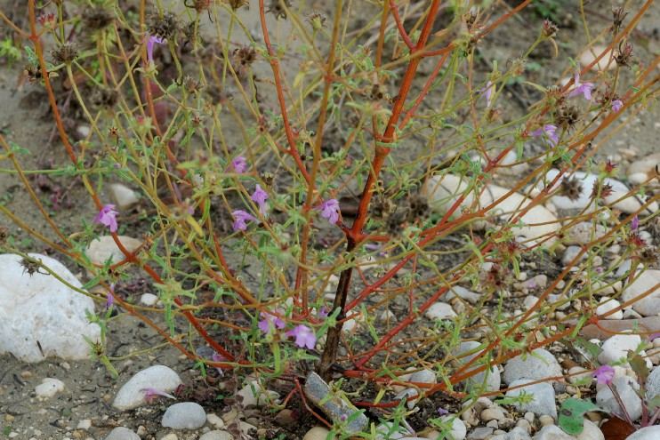 Galeopsis angustifolia subsp. angustifolia 14