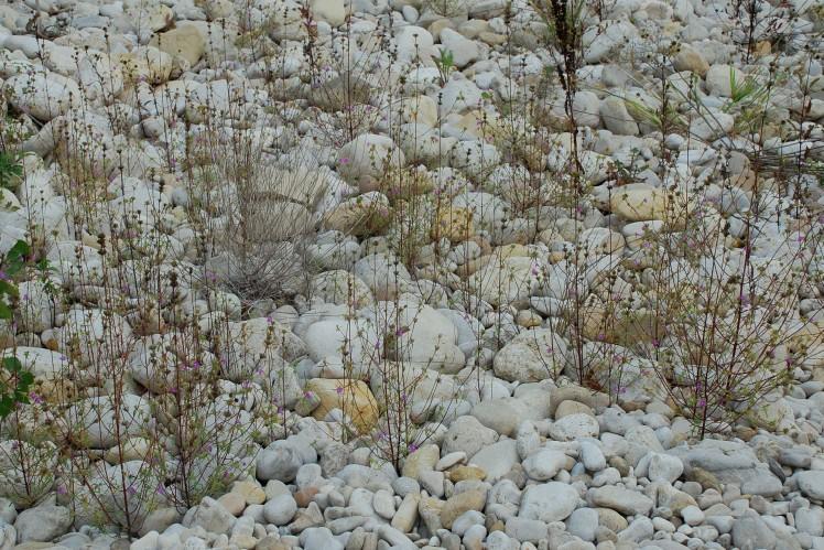 Galeopsis angustifolia subsp. angustifolia 15