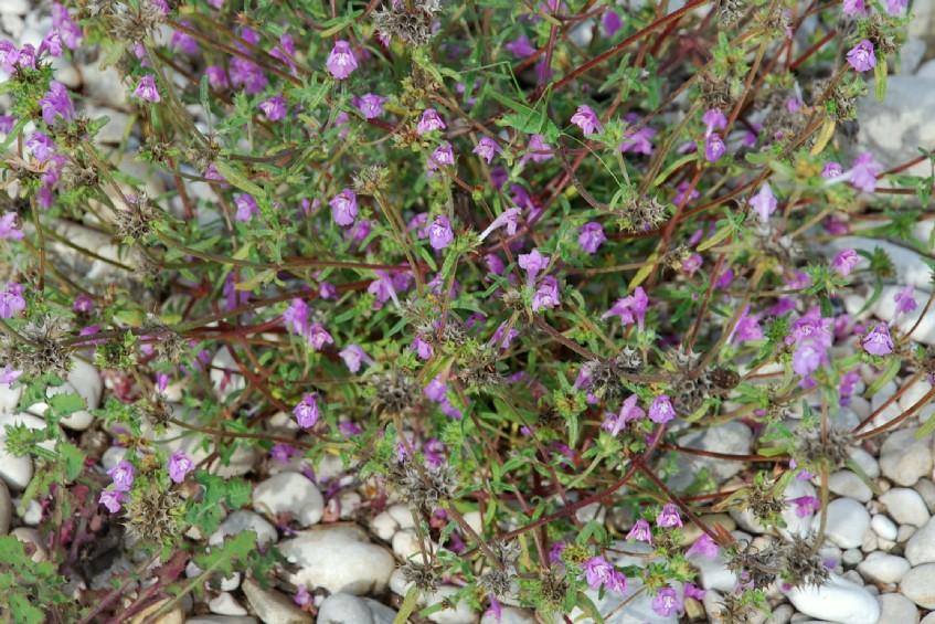 Galeopsis angustifolia subsp. angustifolia 17