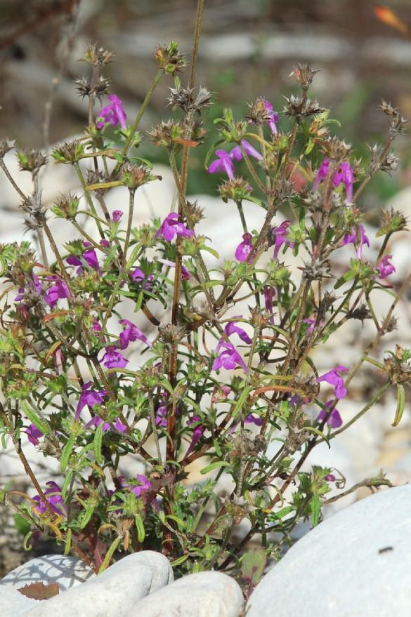 Galeopsis angustifolia subsp. angustifolia 18