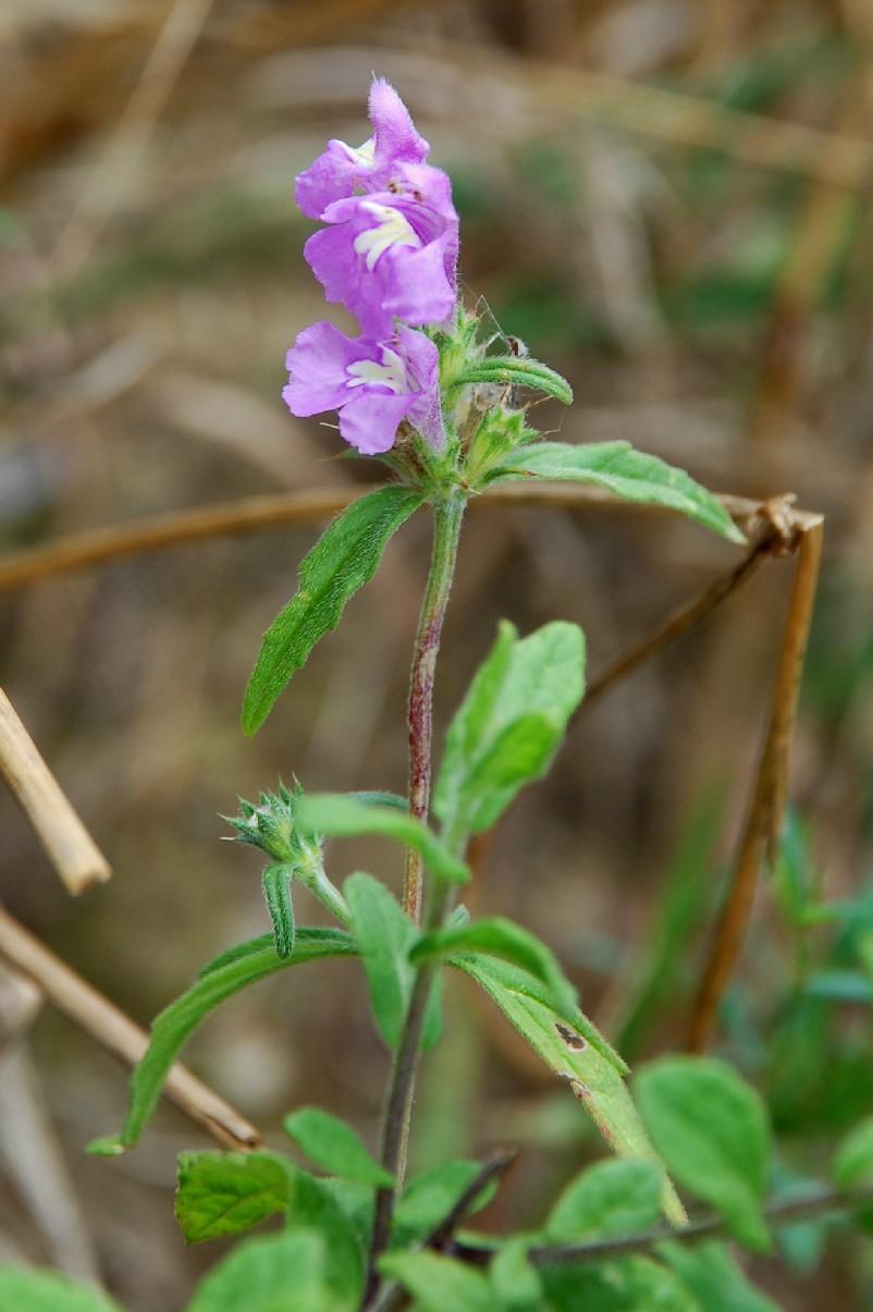 Galeopsis angustifolia subsp. angustifolia 9