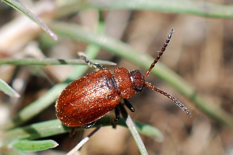 Galeruca rufa - Chrysomelidae