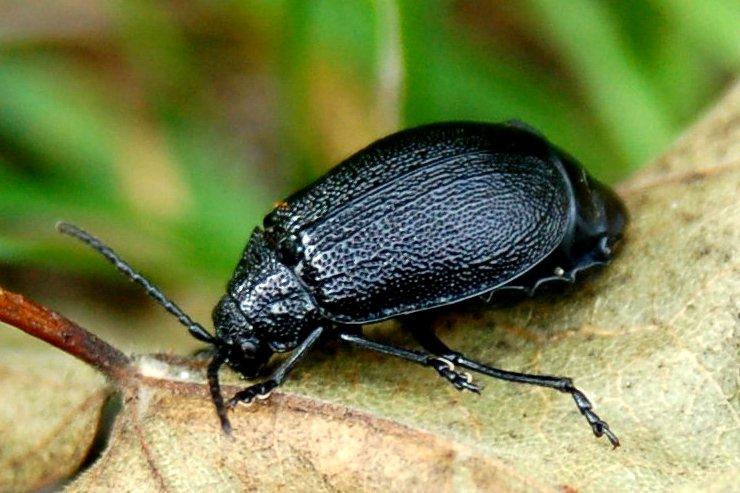 Galeruca sp. - Chrysomelidae