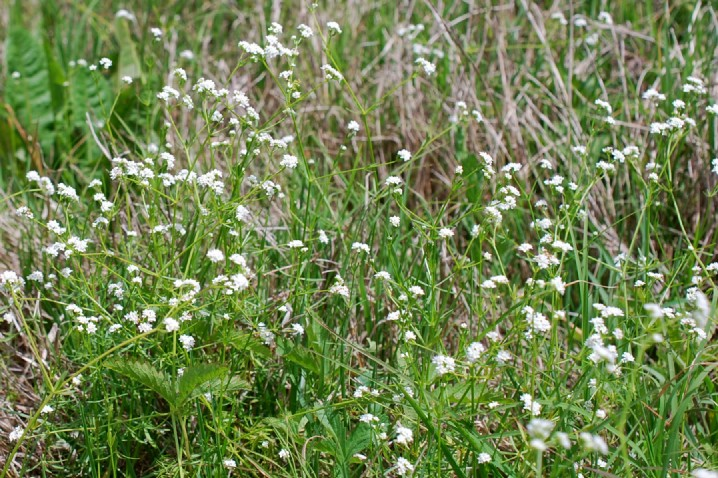 Galium debile 8