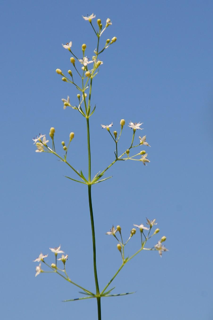 Galium lucidum 6