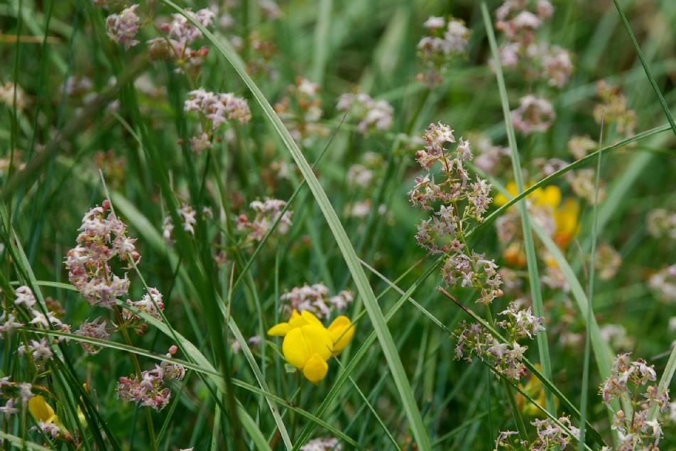 Galium lucidum subsp. venustum 10