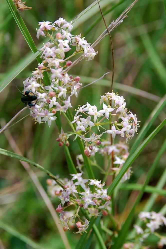 Galium lucidum subsp. venustum 2