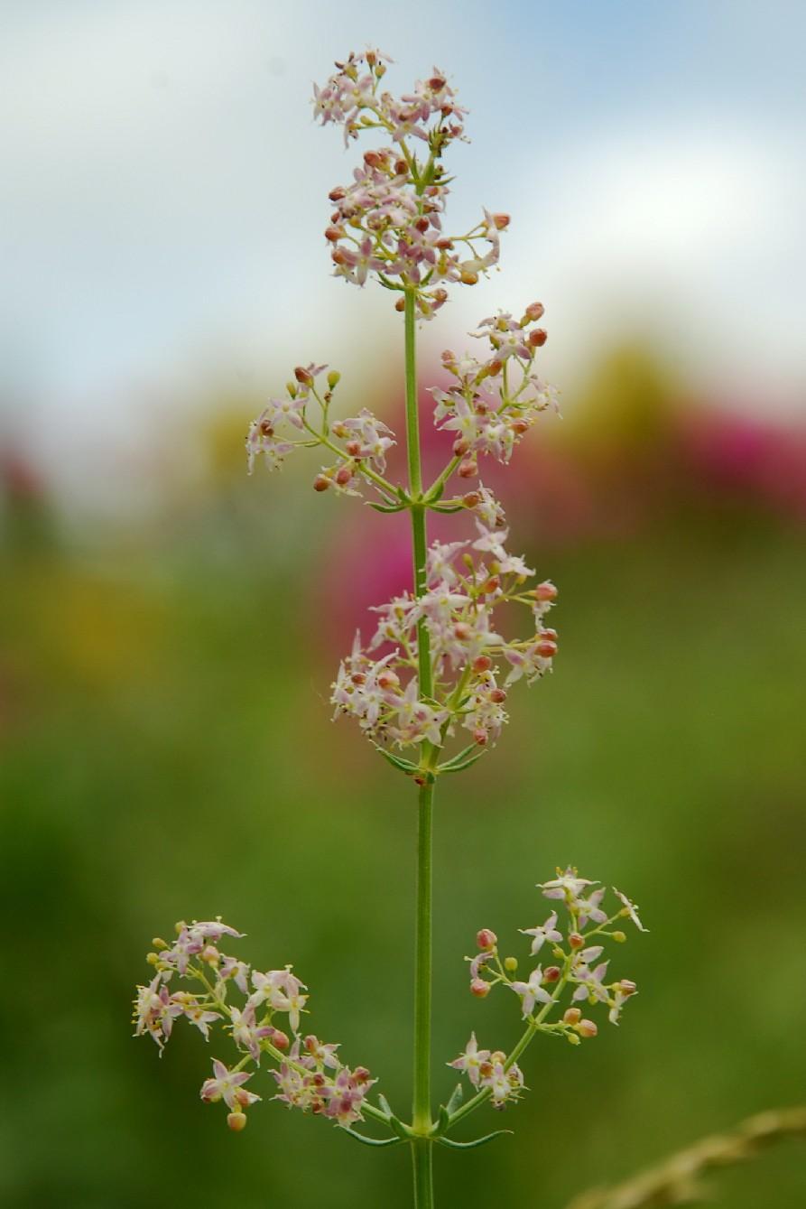 Galium lucidum subsp. venustum 3