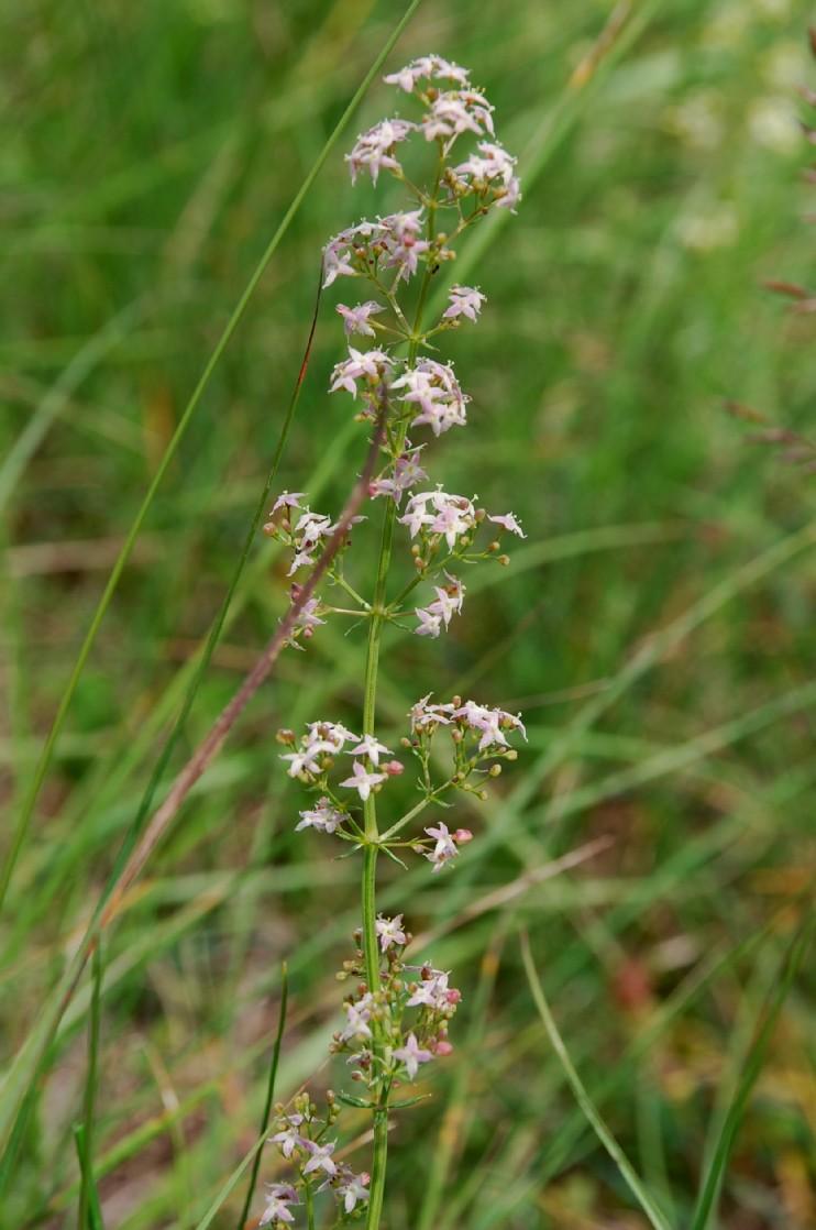 Galium lucidum subsp. venustum 4