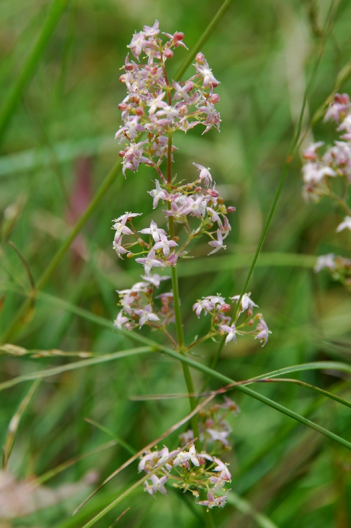 Galium lucidum subsp. venustum 5