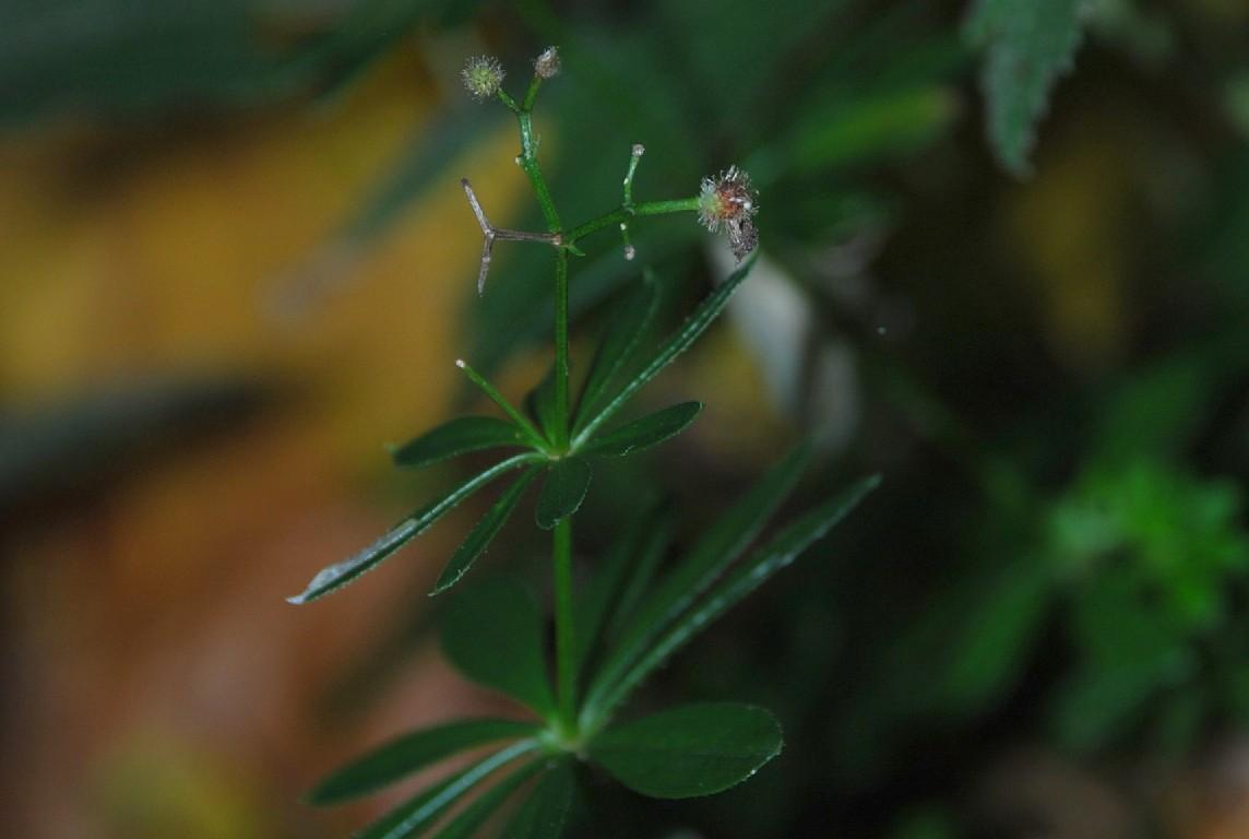Galium odoratum 9