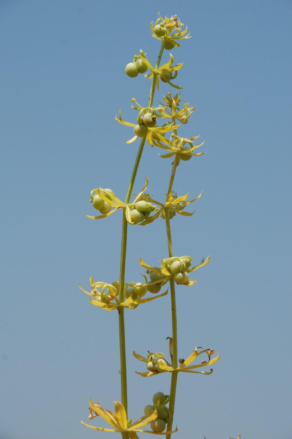 Galium tricornutum 10
