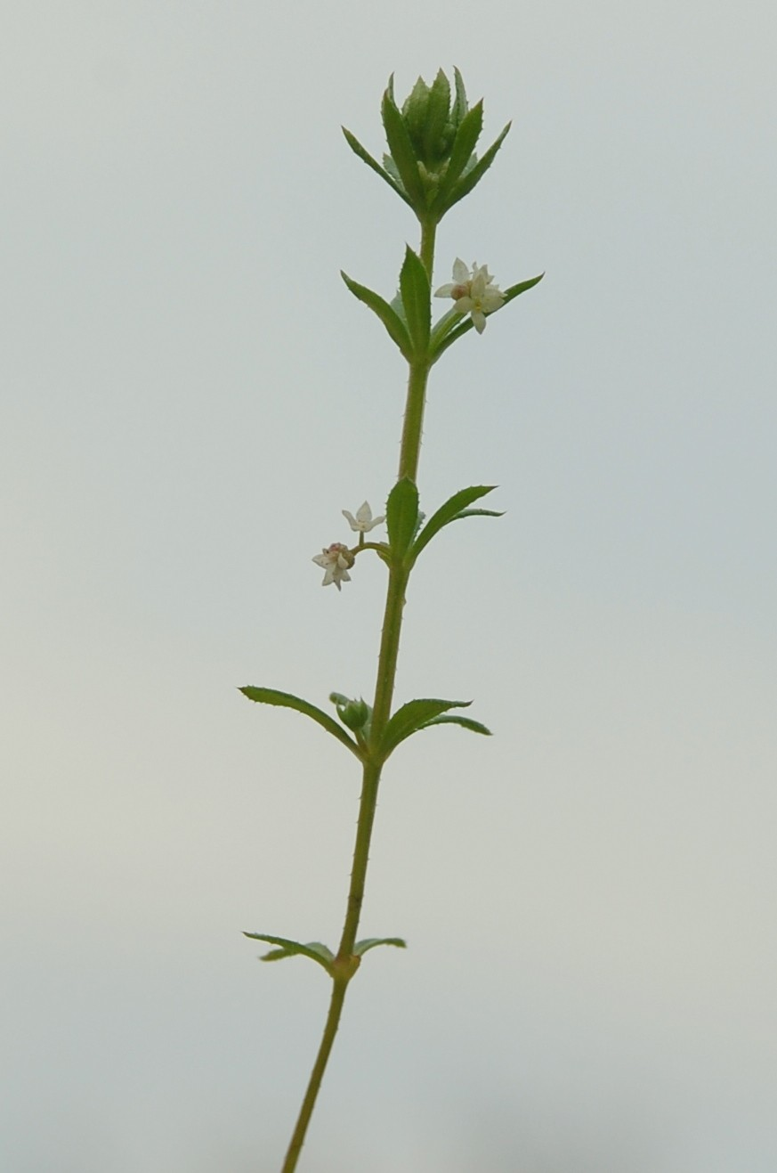 Galium verrucosum 5