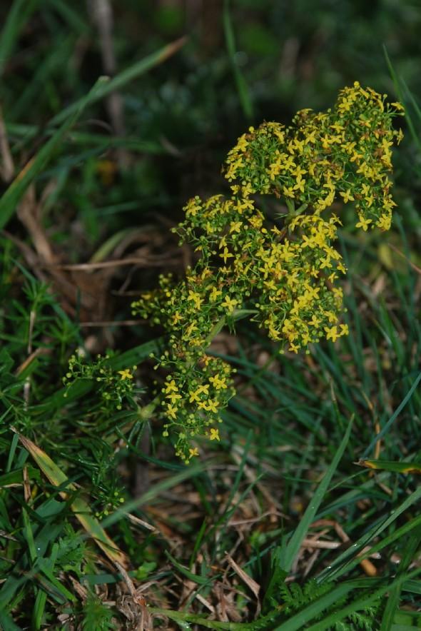 Galium verum subsp. verum