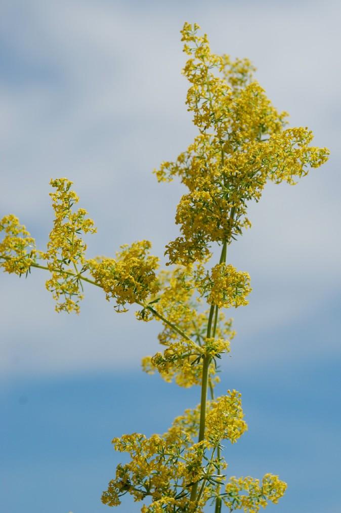 Galium verum subsp. verum 11