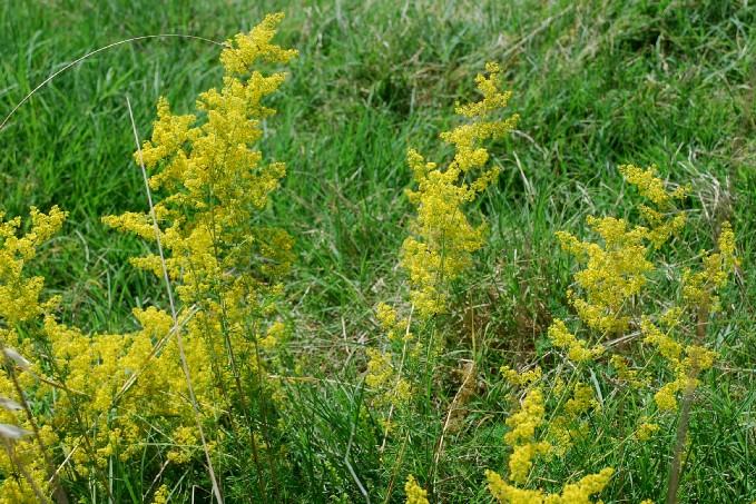 Galium verum subsp. verum 12