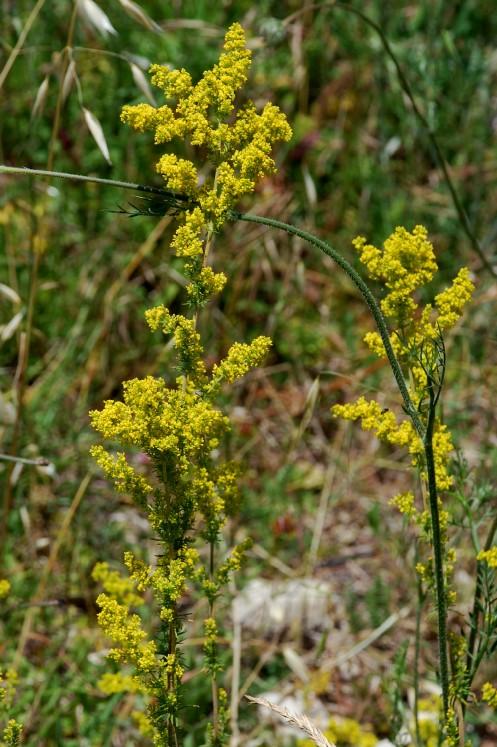 Galium verum subsp. verum 13