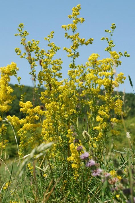 Galium verum subsp. verum 14