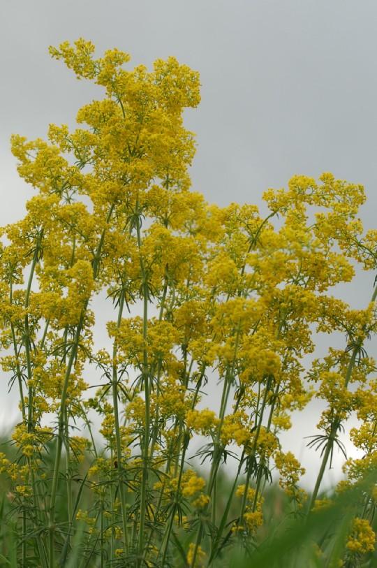 Galium verum subsp. verum 18