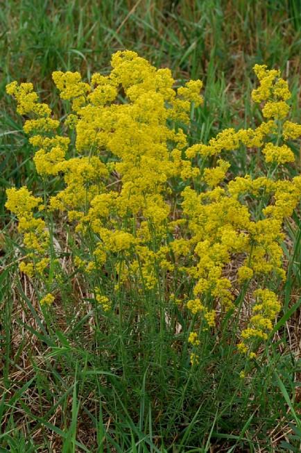 Galium verum subsp. verum 19