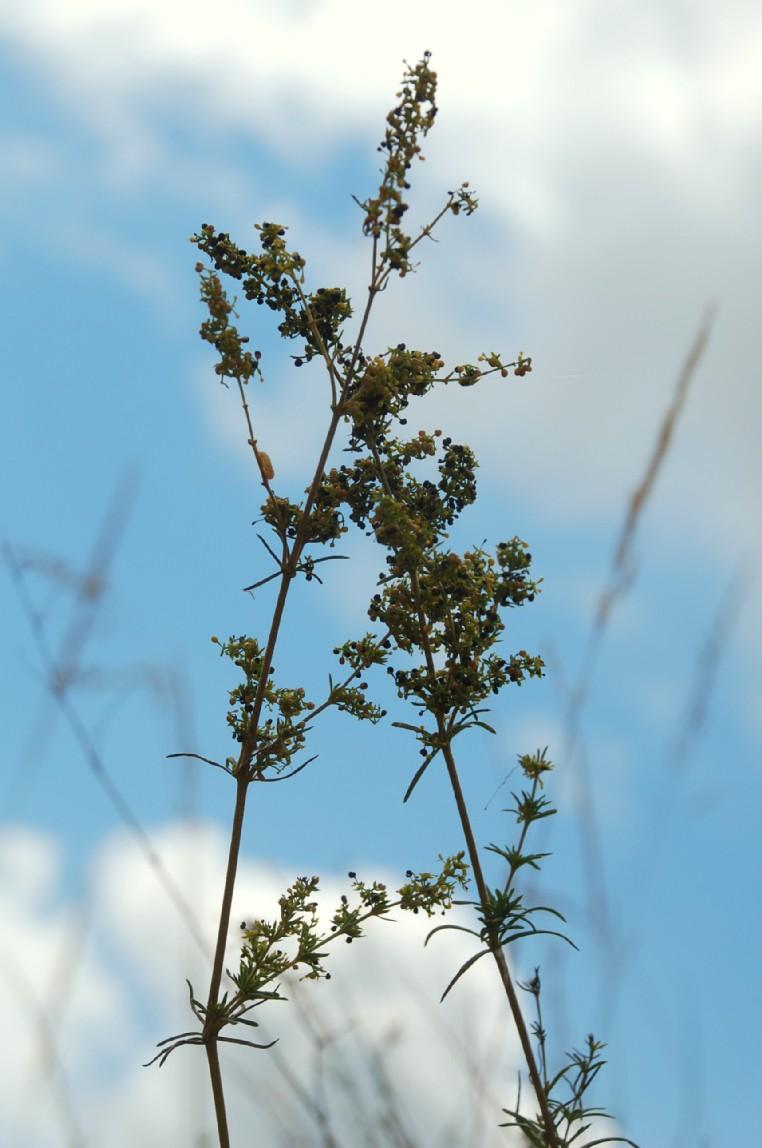 Galium verum subsp. verum 20