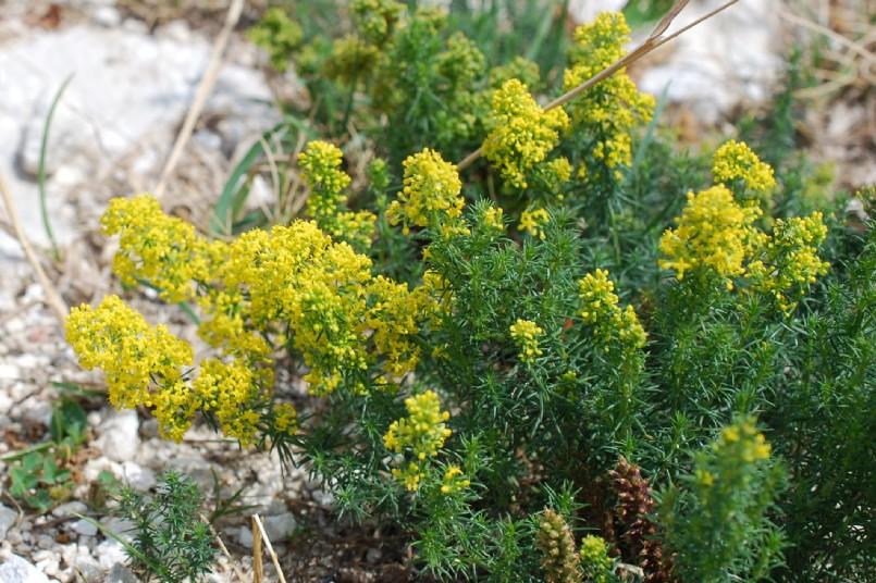 Galium verum subsp. verum 22