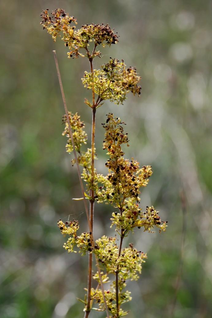 Galium verum subsp. verum 4