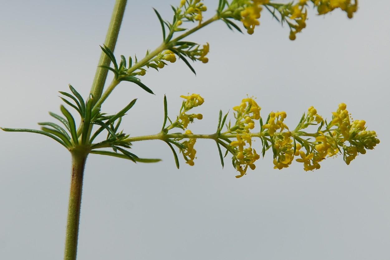 Galium verum subsp. verum 6