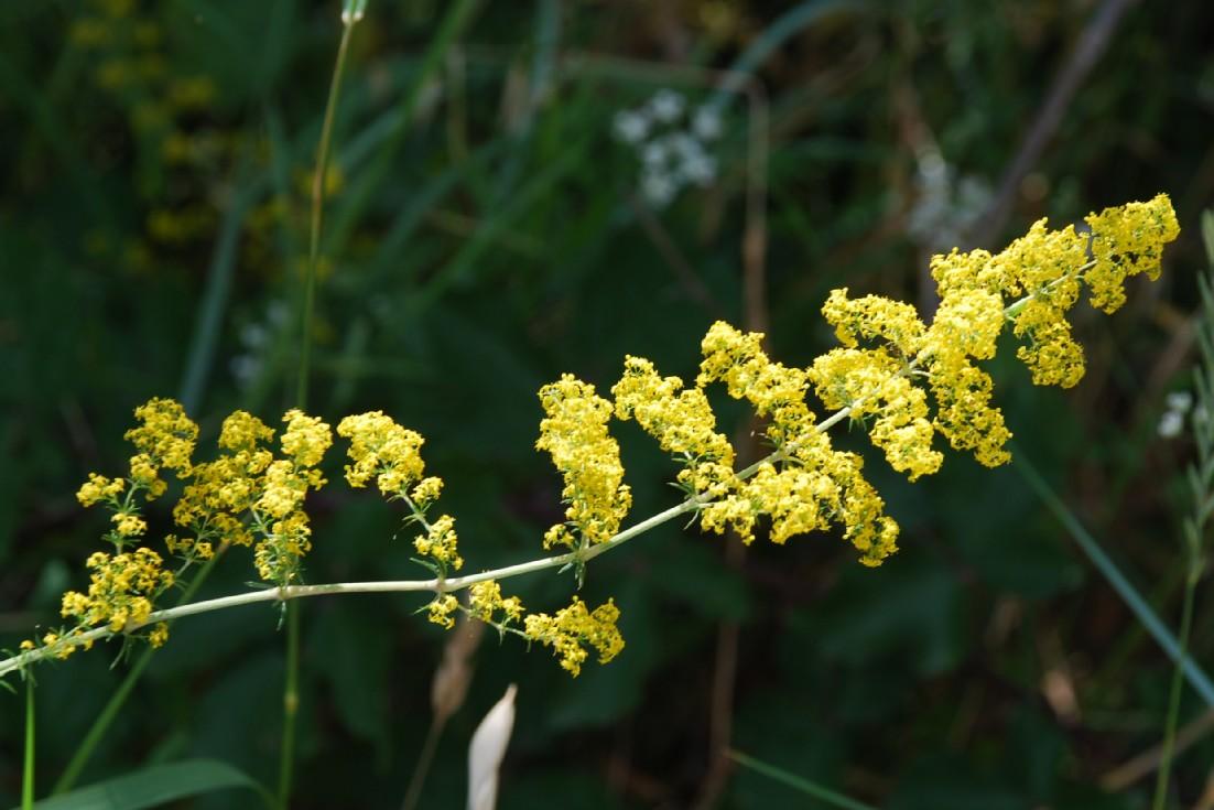 Galium verum subsp. verum 7