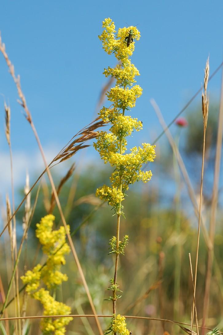 Galium verum subsp. verum 9