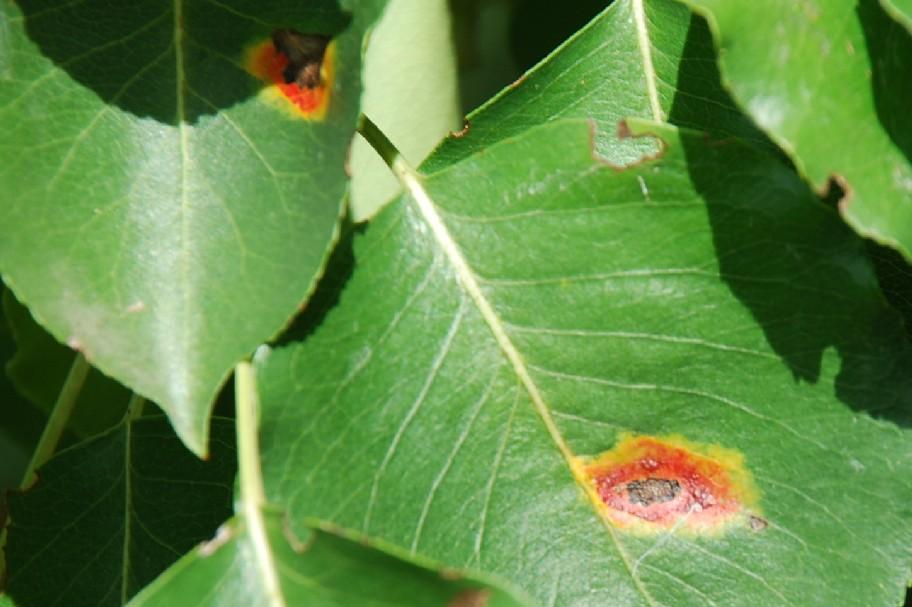 Galle su Populus nigra