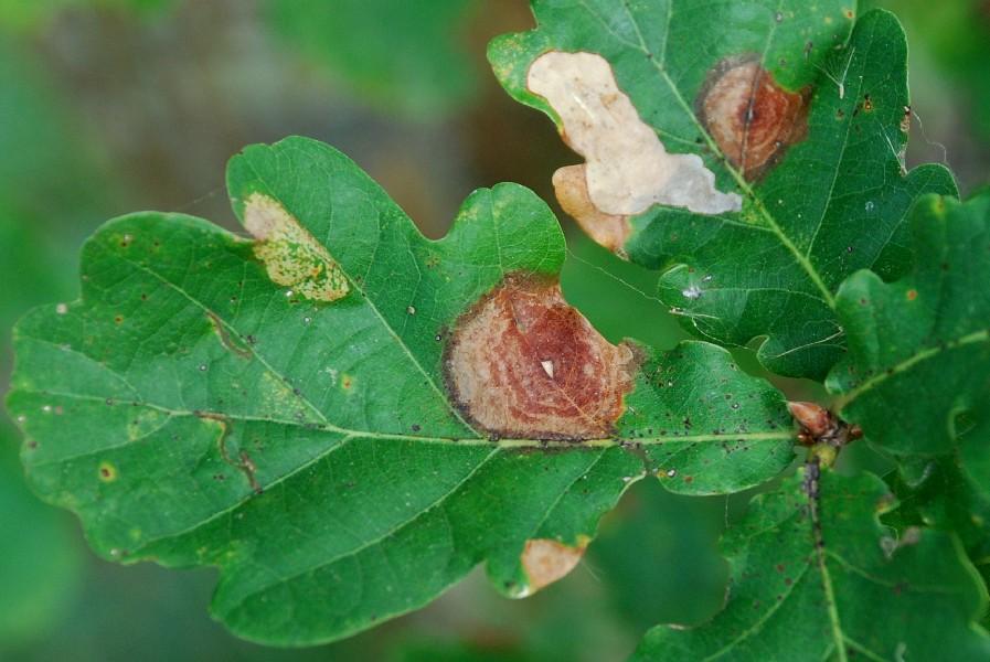 Galle su Quercus pubescens