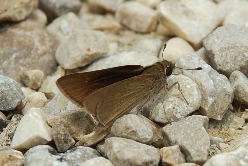 Gegenes nostrodamus - Hesperiidae