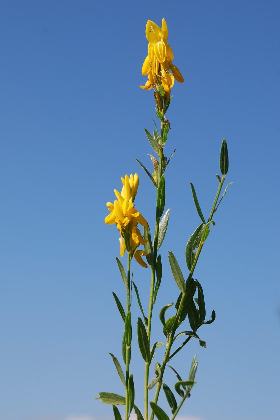 Genista tinctoria subsp. tinctoria 10