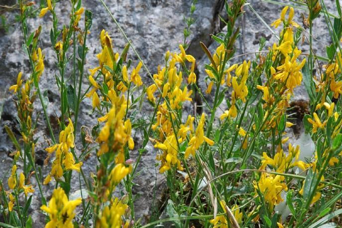 Genista tinctoria subsp. tinctoria 11