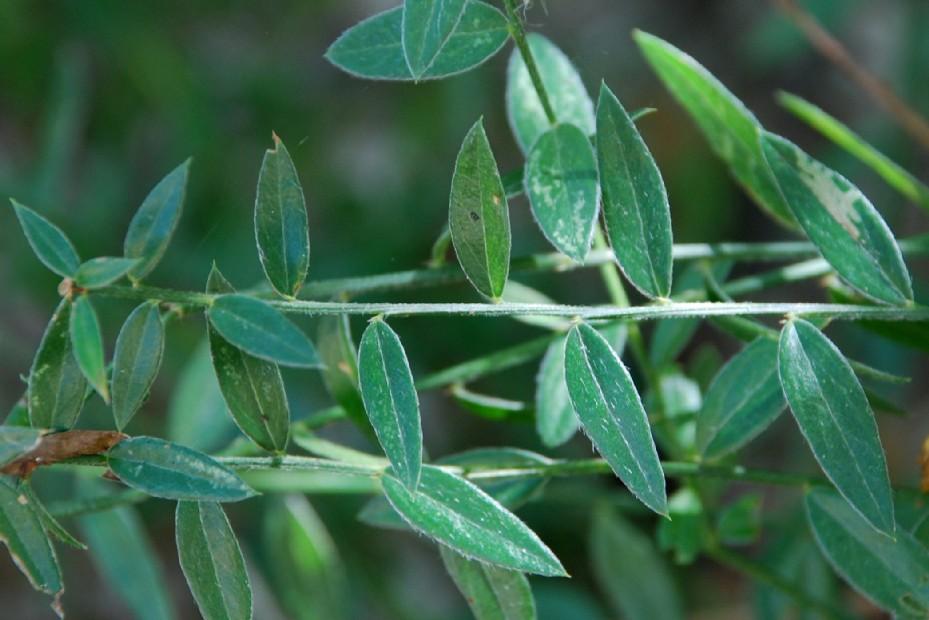 Genista tinctoria subsp. tinctoria 2