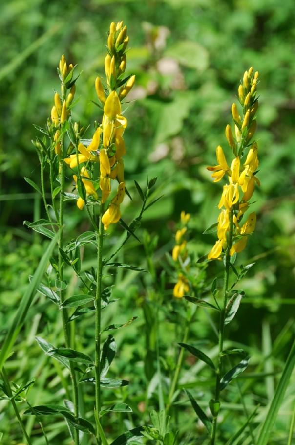 Genista tinctoria subsp. tinctoria 7
