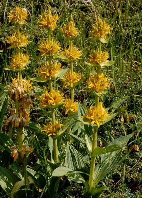 Gentiana lutea subsp. lutea
