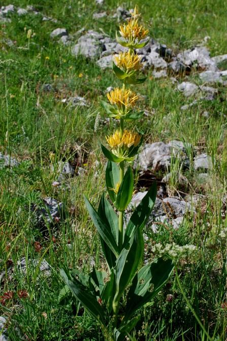Gentiana lutea subsp. lutea 2