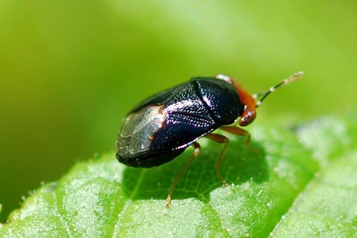 Geocoris erytrocephalus - Lygaeidae