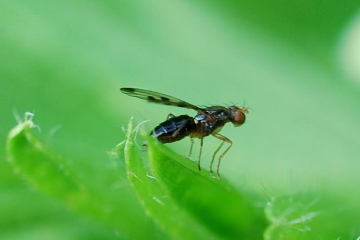 Geomyza sp. - Opomyzidae