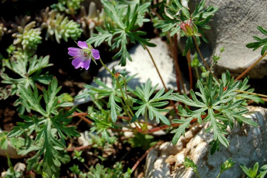 Geranium colombinum