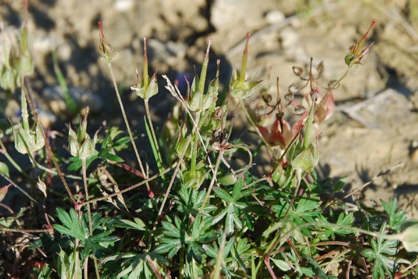 Geranium colombinum 2
