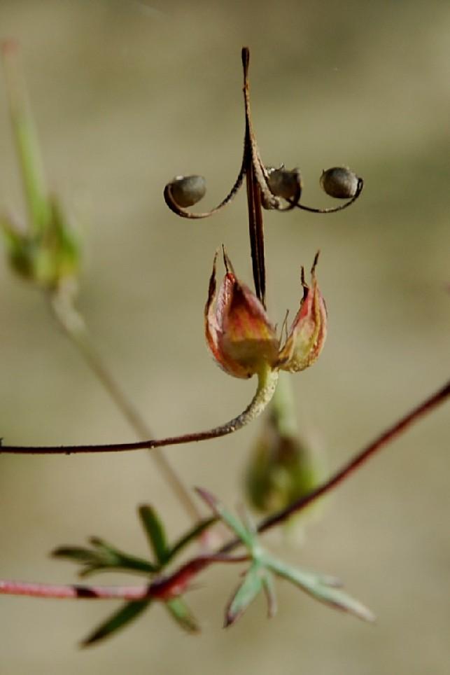 Geranium colombinum 4