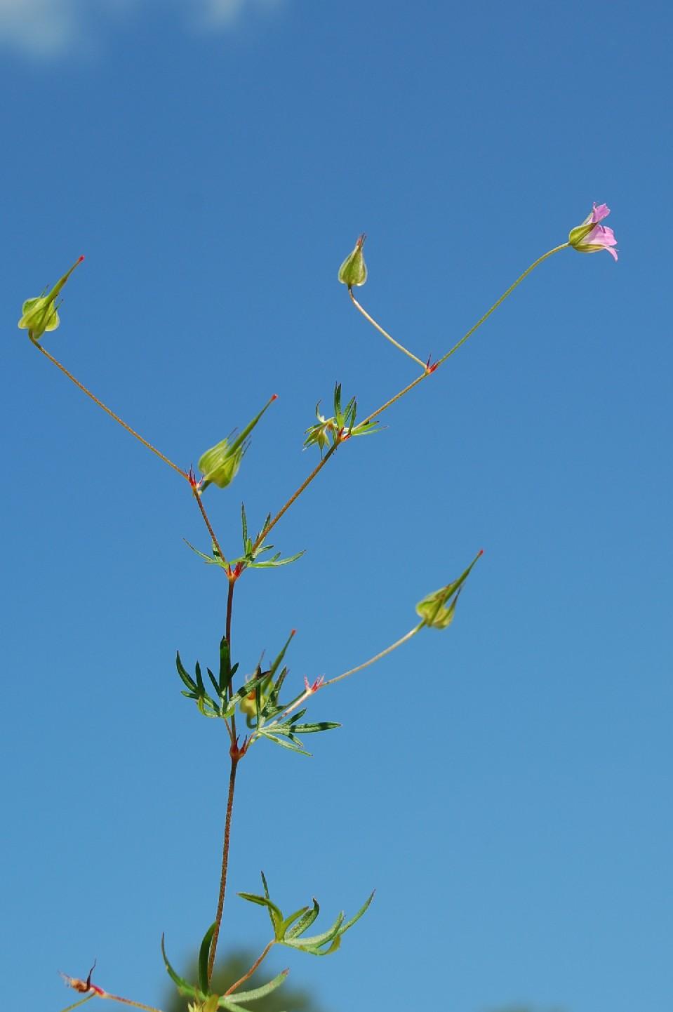 Geranium colombinum 8