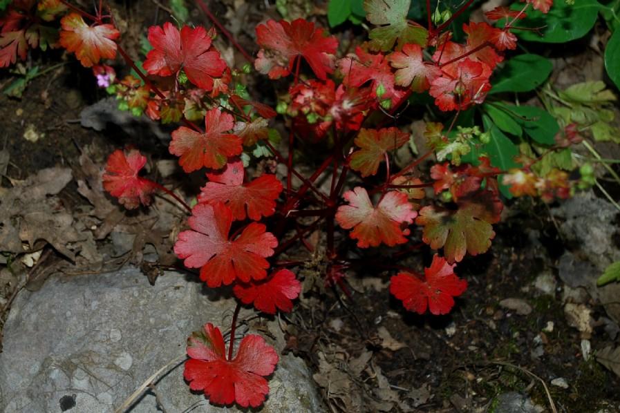 Geranium lucidum 11