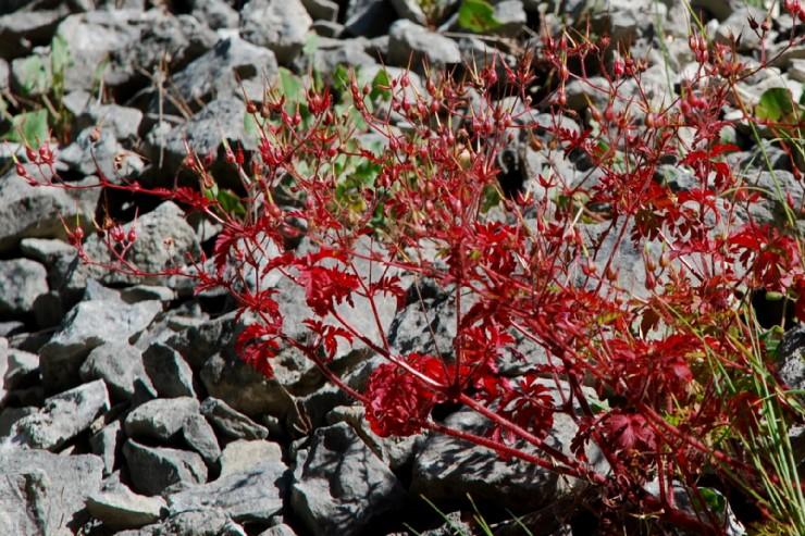 Geranium lucidum 13