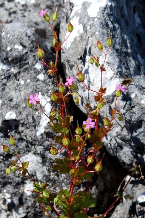 Geranium lucidum 2