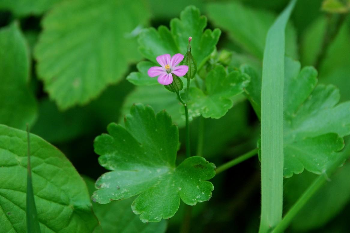 Geranium lucidum 7