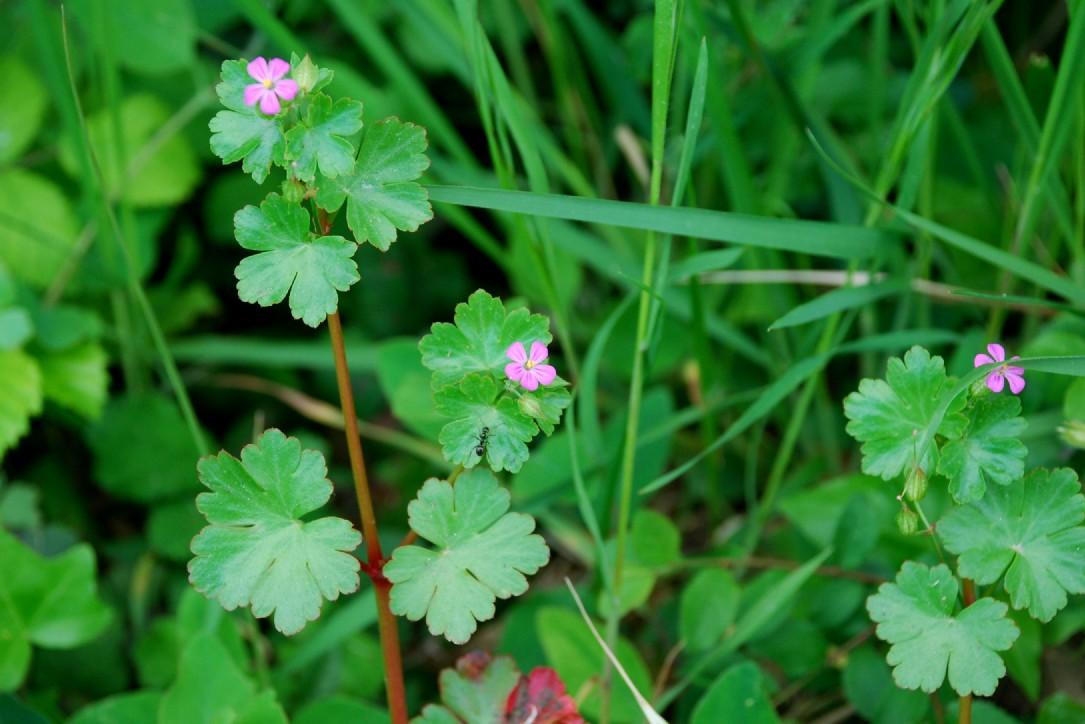 Geranium lucidum 9